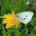 Large white (female)