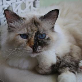 Blue-eyed Sacred Birman Cat by Birgit Vorfelder - Animals - Cats Portraits ( sacred_birman, tortoise, cat, cat_face, tortie, blue_eyes, split_face, tortoiseshell, portrait, mammal, frontal_view,  )