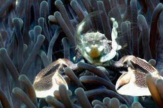 Photo: #006-Crabe Porcelaine (photo de Michel EDME)