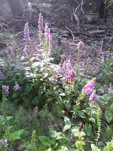 Photo: Fingerhut-Paradies auf dem Plattenberg. Da schlägt das Herz höher (und daher sollte man die Pflanze eigentlich gleich anwenden).