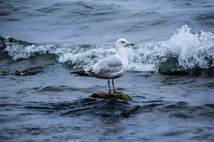 Gull on the shores of Sheboygan by Jason Lockhart - Animals Birds ( wisconsin, gull, sheboygan, lake michigan, cold day, waves )