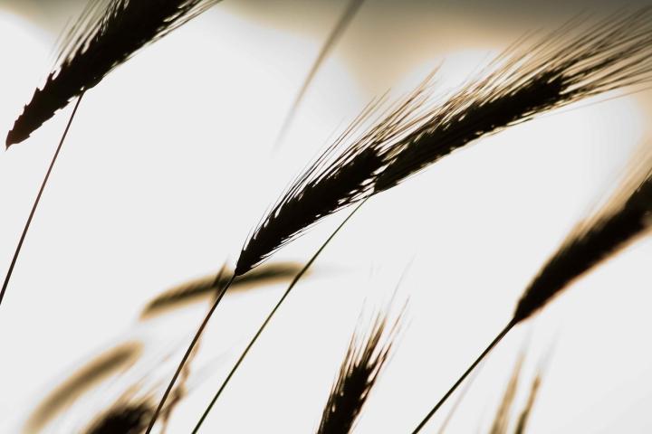 L'odore del grano di Dario Pace