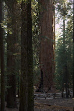 Photo: The General Sherman tree, the largest living organism on the planet.