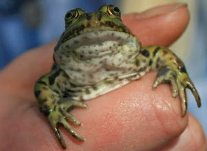 Photo: Teichfrosch