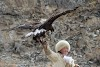 Mongolia. Golden Eagle Festival Olgii. Aisholpan with her eagle.