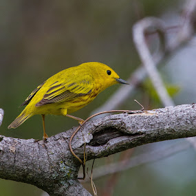 Yellow Warbler by Bill Diller - Animals Birds ( forest, yellow warbler, michigan, nature, woods, yellow, tree, birds, warbler, wildlife )