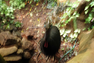 Photo: Our early morning visitor, young male Cassowary. At Rainforest Hideaway. Light was just too dim and I failed to set a higher ISO, dang it!
