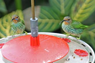 Photo: Purple Honeycreepers (females)