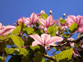 Photo: Naturgarten Düsseldorf Lohausen, Clematis rosa