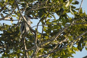 Photo: Black-crowned Tityra (Schwarzschnabeltityra); Bacalar, QR