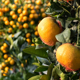 Mandarin Orange by Loh Jiann - Food & Drink Fruits & Vegetables ( fruits, mandarin orange, nature, flower market, cny )