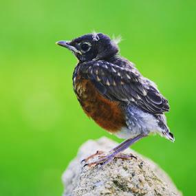 Baby Robin by Jake Tazelaar - Animals Birds ( green, rocks, bird, perched, summer,  )