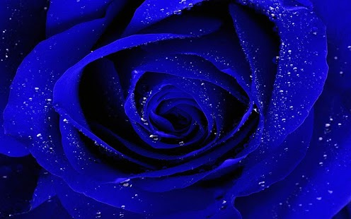 Blue Rose Wallpaper - Android Apps on Google Play