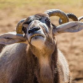 African Animal by Dave Lipchen - Animals Other Mammals ( african animal )