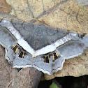 Banded Geometer Moth