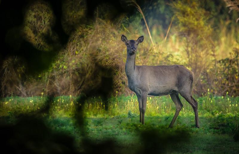 cervo del parco della Mesola di elitropia