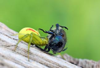Photo: Misumena vatia, Goldenrod Crab Spider  http://lepidoptera-butterflies.blogspot.com/