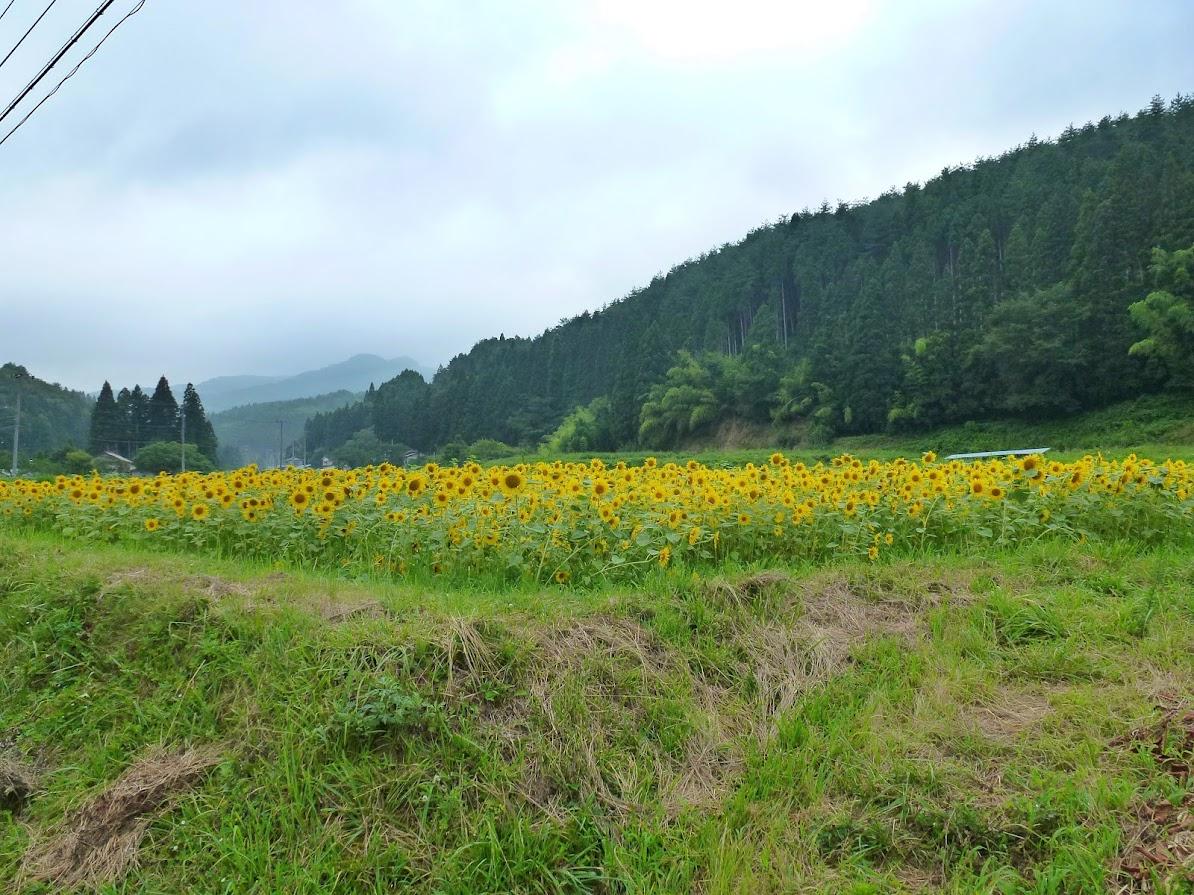 歌津中在のひまわり畑 写真6