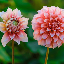 Two Pink Dahlias by Jim Downey - Flowers Flower Gardens ( pink, green, white, black, dahlias )