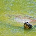 Tartaruga-da-amazônia (South American River Turtle)