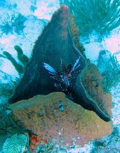 Photo: Lionfish in brown barrel sponge