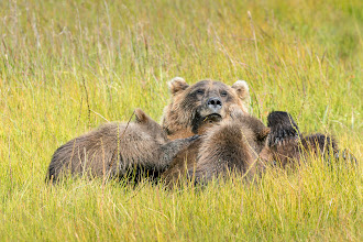 Photo: Mom nurses the cubs