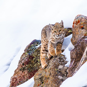 Bobcat Perch by Will Ballew - Animals Other Mammals ( yellowstone, bobcat, snow, yellowstone national park, white, wildlife, white background, ynp )
