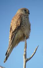 Photo: Gheppio (Falco tinnunculus) - Presente tutto l'anno