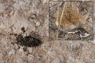 Photo: Fauna: Rastre i restes d'eriçó.