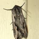 Gray Half-spot Moth