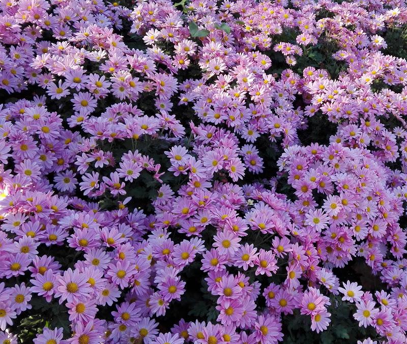 Crisantemi margherita di giulia_juls