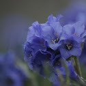 Sky Pilot Flower