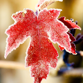 Frosty Maple Leaf by Chad Roberts - Nature Up Close Leaves & Grasses ( red, fall colors, autumn, fall, frost, leaf, leaves, maple,  )