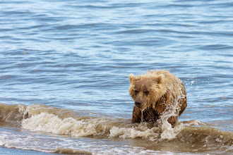 Photo: Bear surfing