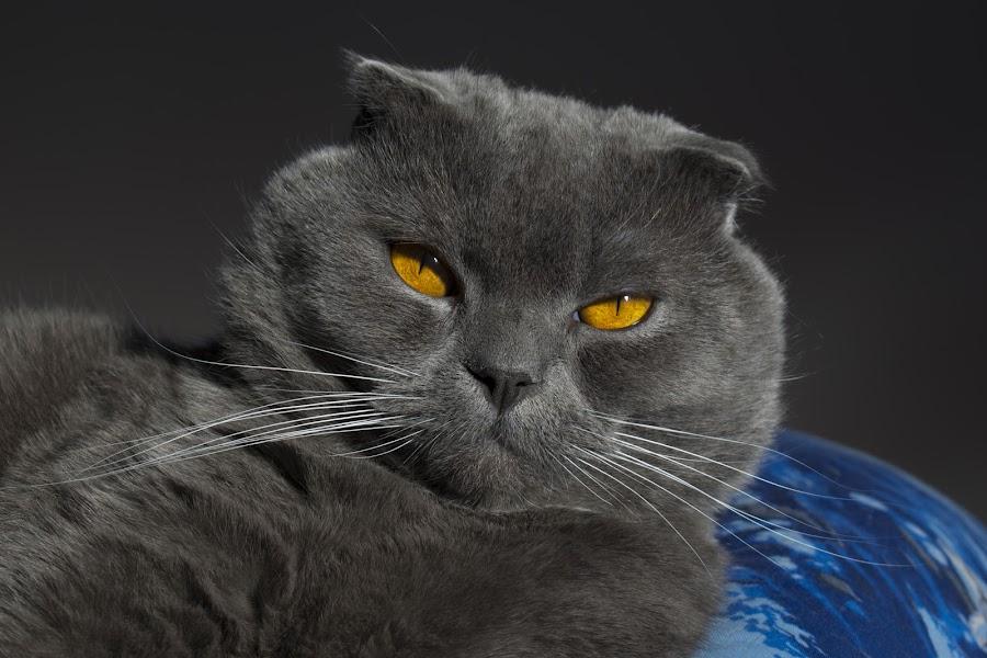 Nicki by Edu Marques - Animals - Cats Portraits ( cats, cat, cat face, animals, cat eyes, cat portrait, animal )