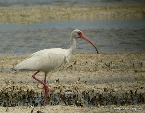 Photo: White Ibis, Florida Keys