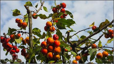 Photo: Măr japonez (Malus floribunda) - din Turda, Str. Libertatii - 2018.11.03