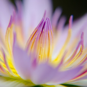 lotus by Daniel Kong - Flowers Single Flower ( pollen, macro photography, yellow flower, lotus flower, purple flower,  )