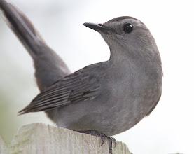 Photo: Gray Catbird