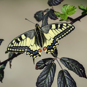 photos of Butterflies by Miloš Karaklić - Animals Reptiles ( photos of butterflie hobby,  )