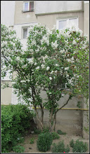 Photo: Liliac  (Syringa vulgaris) - din Turda, Str. Rapsodiei, Nr.3, spatiu verde - 2018.04.26