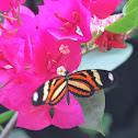 Ethilia longwing