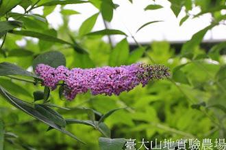 Photo: 拍攝地點: 梅峰-溫帶花卉區 拍攝植物: 醉魚木 拍攝日期:2013_07_04_FY