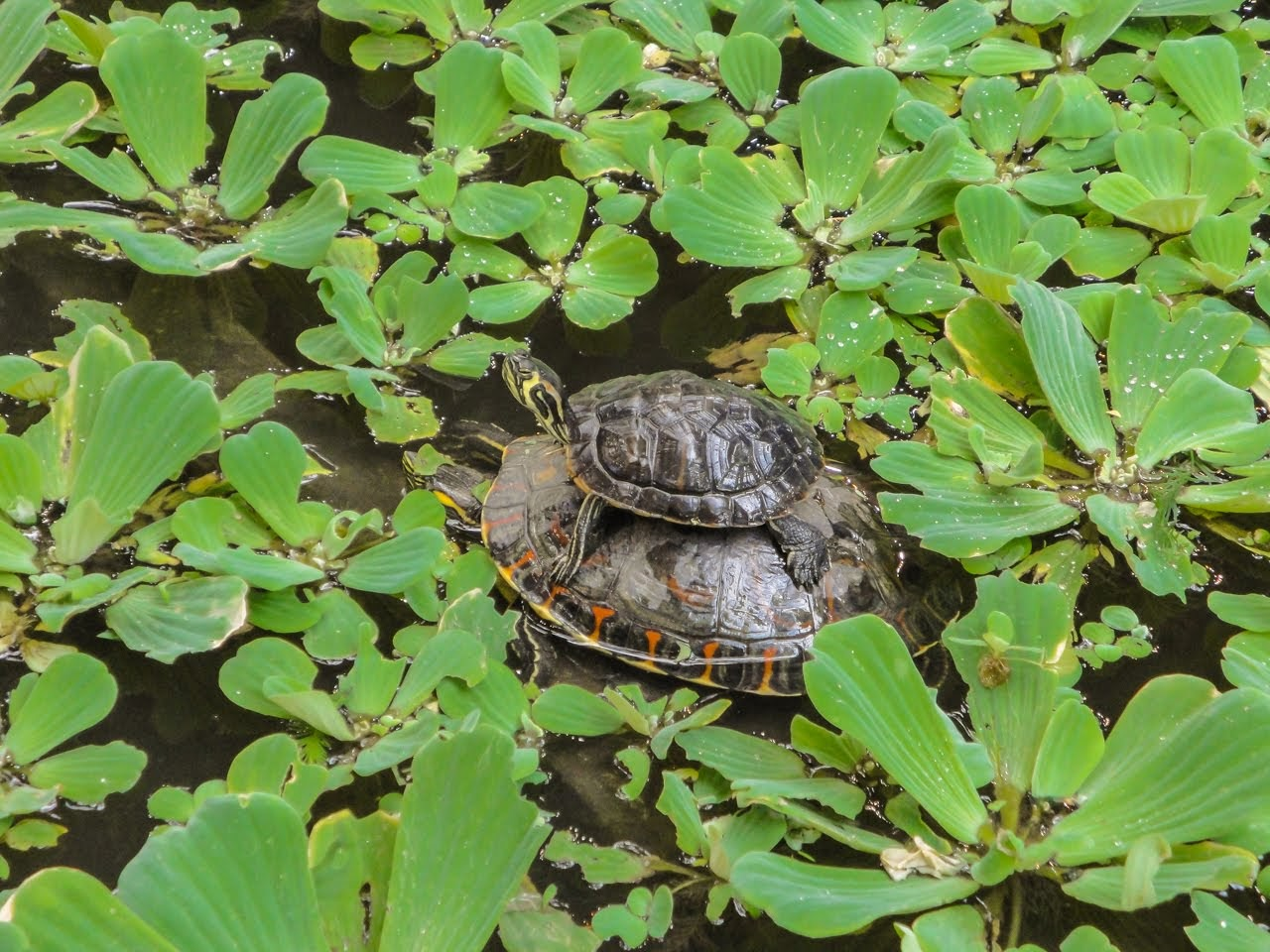 A turtle riding the back of another turtle within the tropical garden