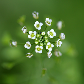 Very Tiny Wildflowers by Vivek Sharma - Flowers Flowers in the Wild ( green background, vivekclix, wildflower, flowers, white flower, wildflowers, green, white, nature, nature up close, flowers of india, beauty in nature )