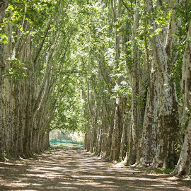 Pmb   Avenue of trees by Richard Booysen - Landscapes Forests ( pmb   anenue of trees )