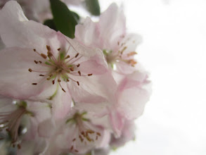 Photo: Groups of soft pink apple blossoms at Eastwood Park in Dayton, Ohio.