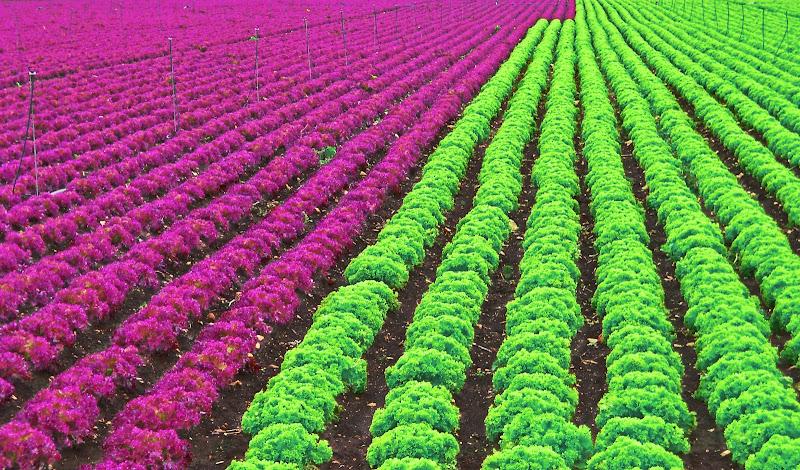 La verde o la rossa? di Pinco_Pallino