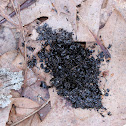 Pileated Woodpecker Scat