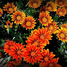flowers by Vygintas Domanskis - Flowers Flower Gardens ( orange, green, summer, yellow, flowers, garden,  )